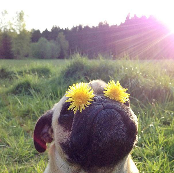 fotografia perro carlino: